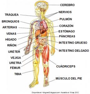 cuerpo-humano-interior